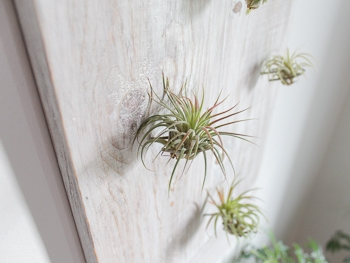 Wooden air plant wall display woodworking plans
