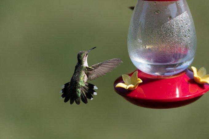 homemade hummingbird food 3